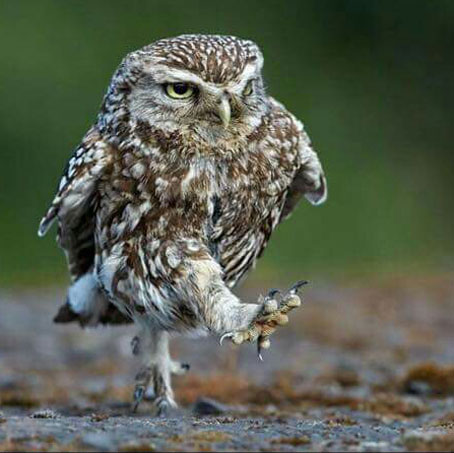 Owl striding along